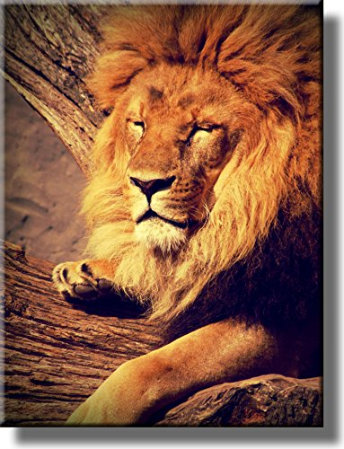 (Lion Resting Picture on Stretched Canvas, Wall Art Décor, Ready to Hang!)