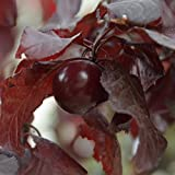 25+ Seeds of Prunus cerasifera - Cherry Plum/Myrobalan Plum Tree. Rare hard to find purple delicious plums!