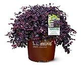 (3 GALLON) Purple Pixie LOROPETALUM-STRIKING, Dwarf, Weeping, Compact Shrub, Deep burgundy evergreen foliage,showy pink flowers-year round appeal with low maintenance