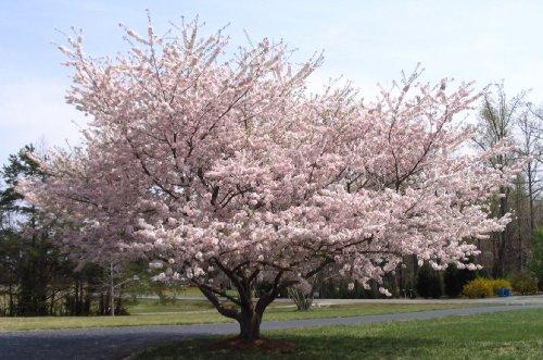 Yoshino Flowering Cherry Tree - Kanzan - Sekiyama Established Roots - Established Roots 2.5