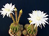 Cactus Echinopsis Calochlora Night Blooming White