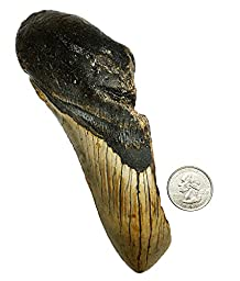 5.9960 inch Genuine Megalodon Fossilized Shark Tooth - Buy exact tooth!