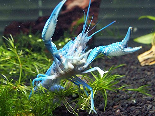 1 Live Electric Blue Crayfish/Freshwater Lobster (2+ Inch Young Adult) by  Aquatic Arts | Sea Life Ce
