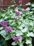 Perennial Farm Marketplace Lamium m. 'Purple Dragon' ((Dead Nettle) Groundcover, Size-#1 Container, Silver Leaves and Deep Lavender Flowers