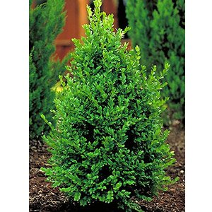 Green Mountain Boxwood - Lot of 10 Live Plants in Gallon Pots by DAS Farms by DAS Farms (Image #4)