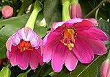 10 Seeds Passiflora mollissima Taxo, Banana Passionfruit Plant