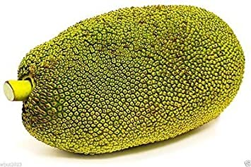 ORGANIC FRESH JACK FRUIT SEEDS WORLD LARGEST TROPICAL FRUIT SEEDS CEYLON