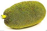5 Giant Jackfruit Plant Seeds , Tropical Novelty ,Worlds Largest Fruit