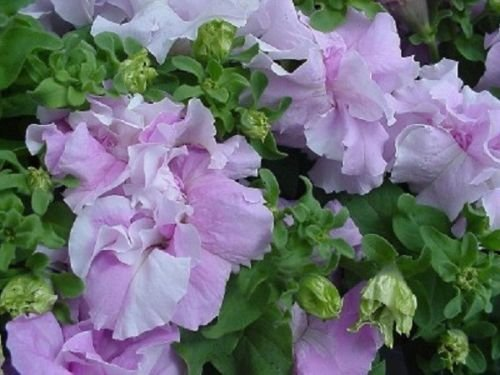Double Cascade Orchid Mist Pelleted Petunia Seeds - 50 Seeds