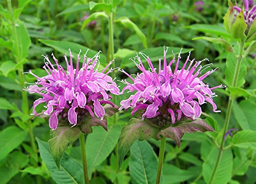 200+ Organically Grown Wild Bergamot Seeds Heirloom Non-GMO Fragrant Mintleaf Bee Balm Oswego Tea Monarda fistulosa menthifolia from USA ()