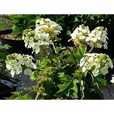AchmadAnam - Live Plant - Hydrangea QUERCIFOLIA. E4 : Garden & Outdoor