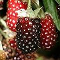 Boysenberry Plants 'Original' Price Includes Four (4) Plants