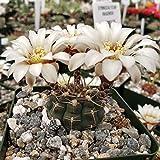 Gymnocalycium shroederianum longispinum