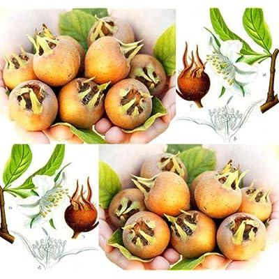 New Medlar Fruit 20 Seeds - Showy Mespilus - Mespilus germanica- Combined S&H : Garden & Outdoor