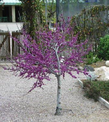 Amazon Com Western Redbud Tree Cercis Occidentalis 10 Seeds