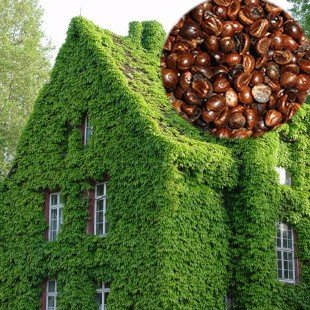 100 Seeds Per Pack Green Boston Ivy Seeds
