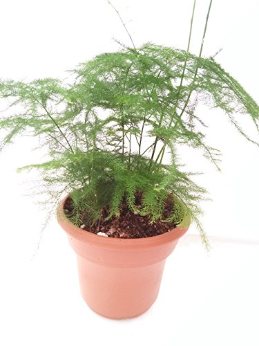 Fern Leaf Plumosus Asparagus Fern 4.5