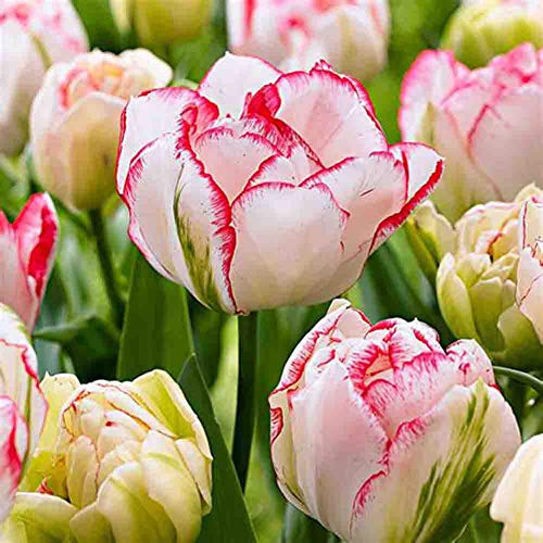 Tulips (2 Bulbs) Tulipa Triumph Size 10~14 cm Fall Planting and Spring Blooms (White with Red) (Tulip Bulb)