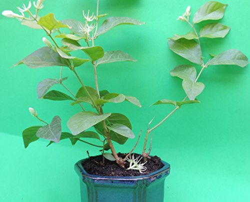 Fragrant Jasmine plant with handmade blue glazed pot sold by JM Bamboo