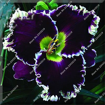 Hybrid Mix Black Daylily Flowers Seeds Rare Colour Hemerocallis Seeds New Day Lily Seed Garden Potted Planting Flower 100 Pcs : Garden & Outdoor