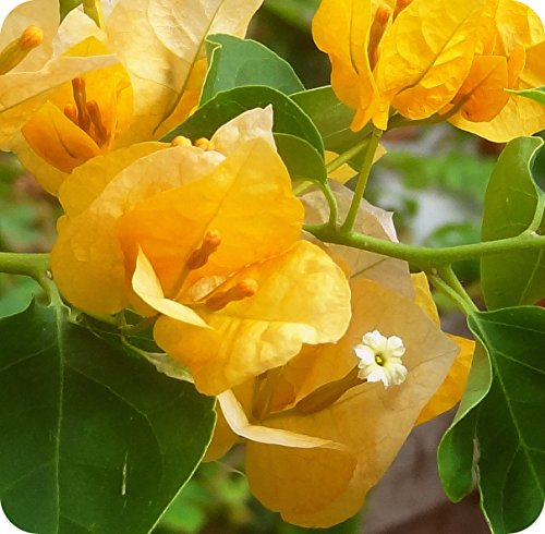 - Yellow Bougainvillea - Everblooming - Indoors/Outdoors/Patio - 4