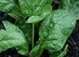 Spinach Seeds - Butterflay Organic Open Pollinated Non GMO by Hill Creek Seeds