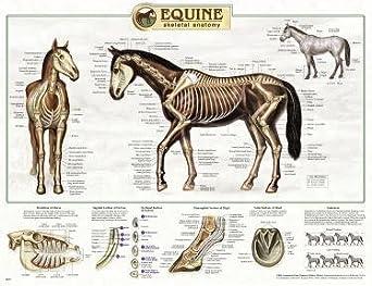 diagram of the fetal skull equine anatomy chart horse anatomy wall chart amazon com