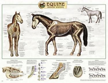 North American Horses Laminated Educational Reference Equine Chart Poster 24x36