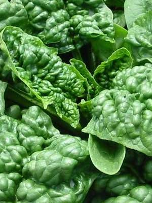 Spinach Bloomsdale Great Heirloom Vegetable By Seed Kingdom BULK 5 Lb Seeds by Seed Kingdom (Image #1)