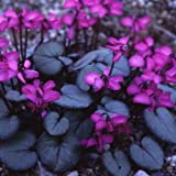 Plant World Seeds - Cyclamen Coum Seeds