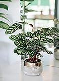 AMERICAN PLANT EXCHANGE Calathea Makoyana Peacock