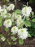 "little honey hydrangea (1 gallon) ""Mount Airy"" DWARF FOTHERGILLA, Multi Season Plant, Honey Like Fragrance, Cream Colored Flowers, Beautiful Fall Colors,"