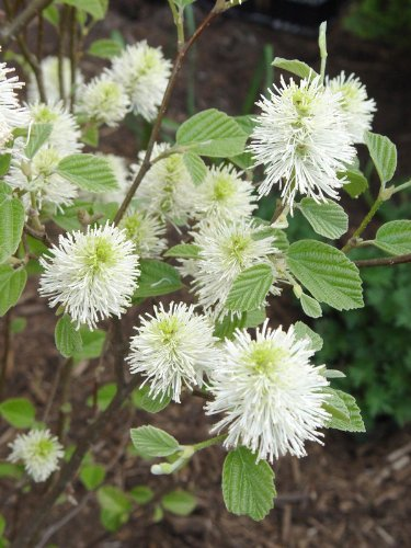 "(1 gallon) ""Mount Airy"" DWARF FOTHERGILLA, Multi Season Plant, Honey Like Fragrance, Cream Colored Flowers, Beautiful Fall Colors,"