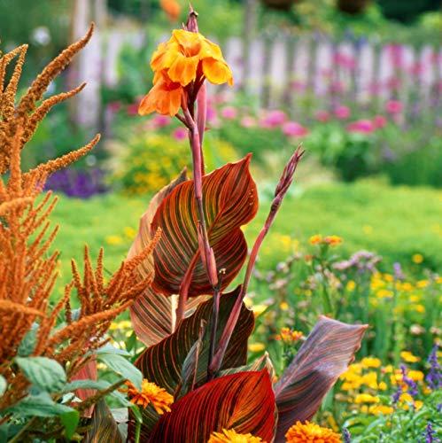 - 5 Canna Phasion Canna Bulbs Spectacular Flowering Perennial Flowers Garden Canna Lily Flower Bulbs