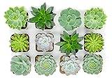 Succulent Plants | 5 Echeveria Succulents