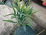 1 Large Octopus Agave (Agave Vilmoriniana). Live Rooted Healthy Plant