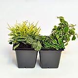 Terrarium and Shade Plant Assortment, Variegated for Miniature Garden, Fairy Garden