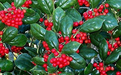 Dwarf Burford Holly Ilex Qty 40 Live Plants Evergreen Burfordi Shrub by Florida Foliage (Image #1)