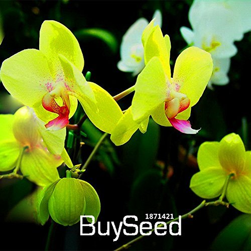 New Seeds 2015!Green Orchid Bonsai Flowers Formaldehyde Air Purification Seeds Phalaenopsis Orchids,100 PCS/Bag,#AJ2TEB