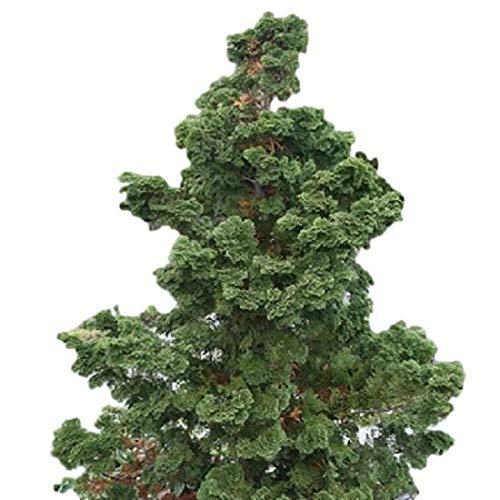Hinoki Cypress Tree - Slender Hinoki False Cypress - Live Plant - Trade Gallon Pot