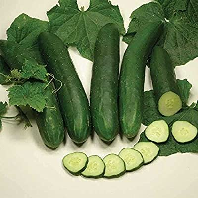 Sweet Slice Hybrid Cucumber Seeds - mild flavor and no trace of bitterness!!