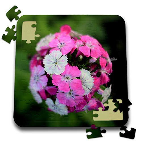 3dRose Stamp City - Flowers - Close up Photo of Dianthus barbatus - Sweet William in Shades of Pink. - 10x10 Inch Puzzle (pzl_308721_2) ()