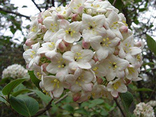 Korean Spice Viburnum Carlesii Shrub Established Rooted 2.5