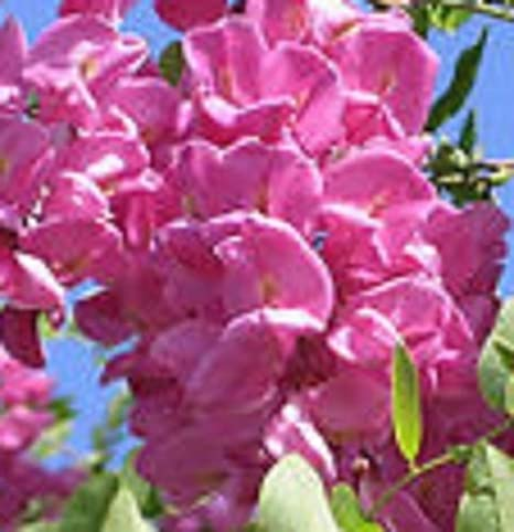 Amazon arnots purple pink locust tree acacia flowering tree arnots purple pink locust tree acacia flowering tree hardy seedling live plant mightylinksfo