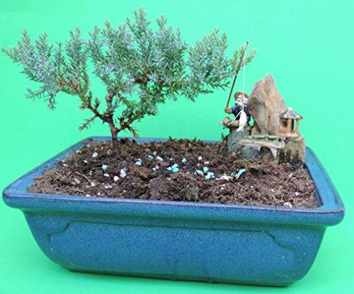 Bamboo Blue Tree (Fertilized Juniper bonsai tree with blue glazed handmade vase sold by JM Bamboo)
