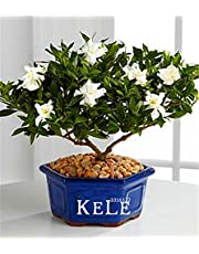 Big Promotion!100 Pcs/Lot Gardenia Seeds (Cape Jasmine)* Home Garden Potted Bonsai, amazing smell & beautiful flowers for room,#