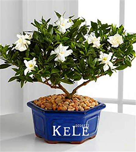 Big Promotion!100 Pcs/Lot Gardenia Seeds (Cape Jasmine)* Home Garden Potted Bonsai, amazing smell & beautiful flowers for room,# SVI