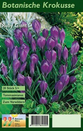 Krokusse Zum Verwildern botanische krokusse ruby 20 stück amazon de garten