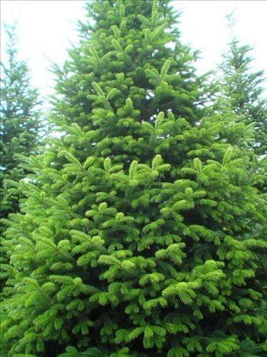 2 Packs 15 Seeds Abies Nordmaniana- Nordman Fir Tree Seeds Online