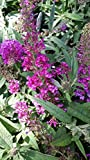 (3 Gallon) Blue Chip Jr. Butterfly Bush (Low and Behold Variety) Stunning Miniature Butterfly Shrub, Only 2' Tall/Wide Produces Fragrant Bluish Purple Blooms. Very Easy to Grow!